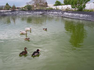 Mon bassin au canard eleveur d 39 animeaux d 39 ornements - Bassin canard d ornement pau ...
